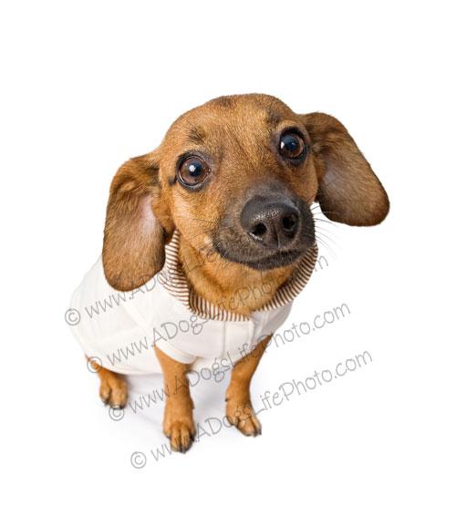 Free Weenie Dog Puppies
